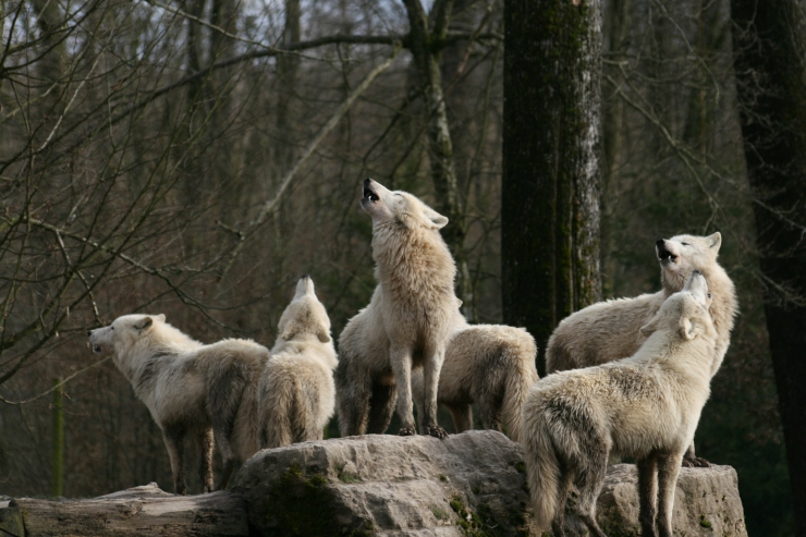wolves17-s3888x2592-196518